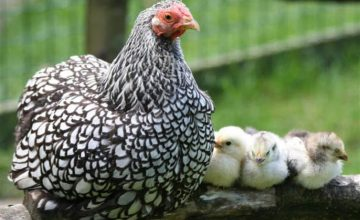 lees meer over onze Kippen