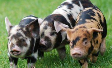 lees meer over onze Kune Kune varkens